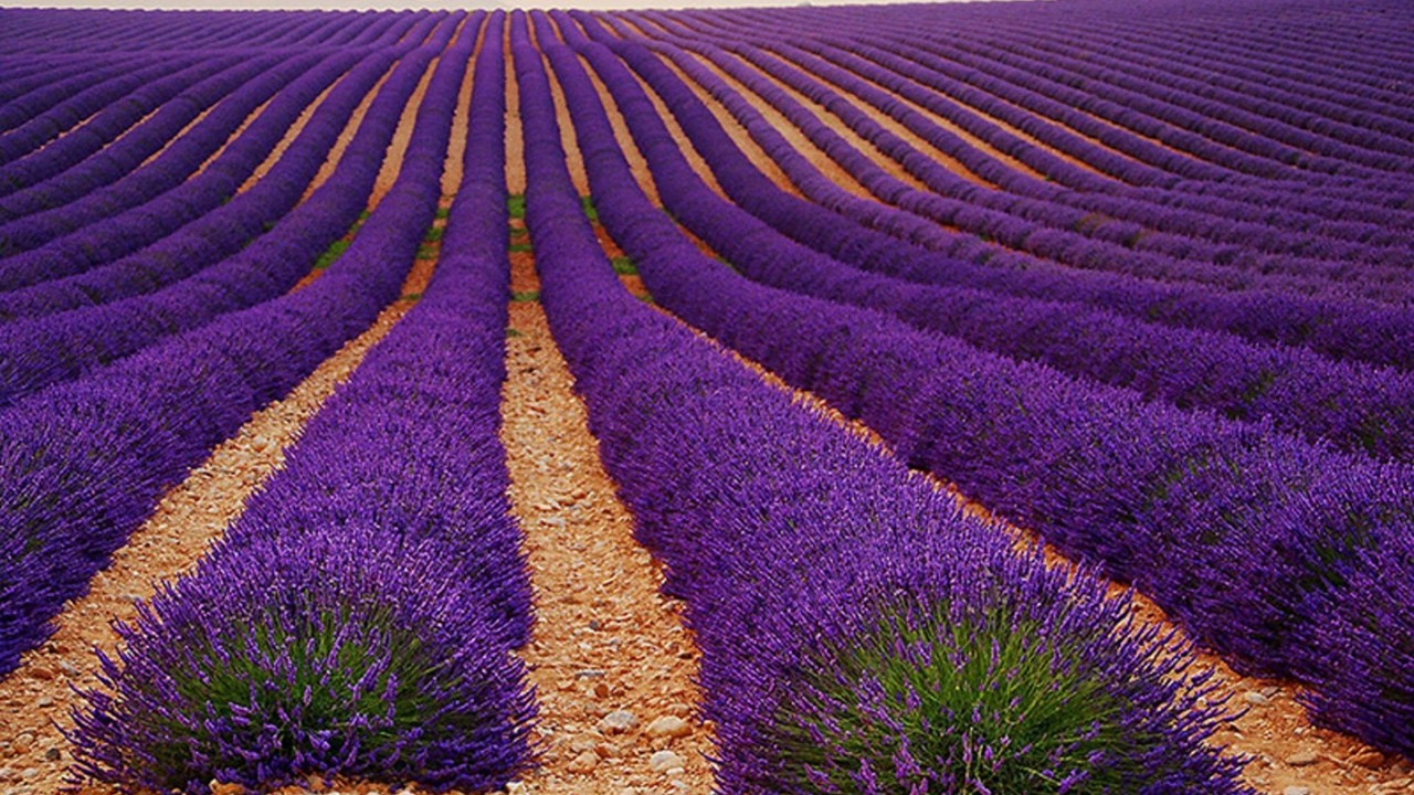 fields-beautiful-farms-lavender-purple-farm-amazing-free-desktop-background-1280×720